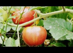 Tomatoe-Garden-301