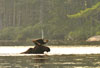 Picture of bull moose swimming