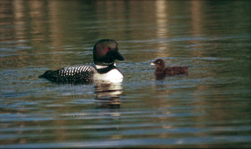 Common loons are among the wildlife at our four season resort