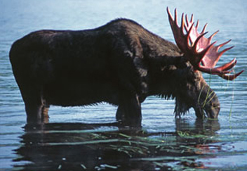 Maine Moose and Wildlife Tours