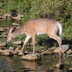 White Tail Deer NEOC