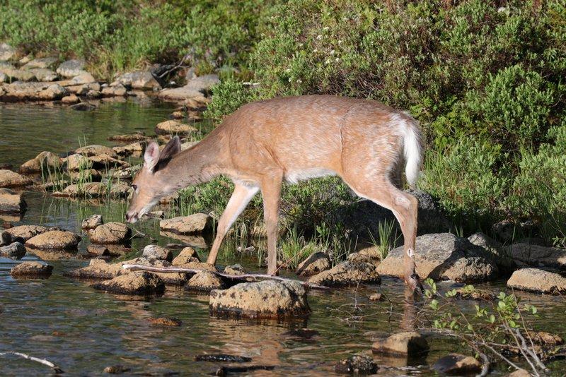 White Tail Deer NEOC