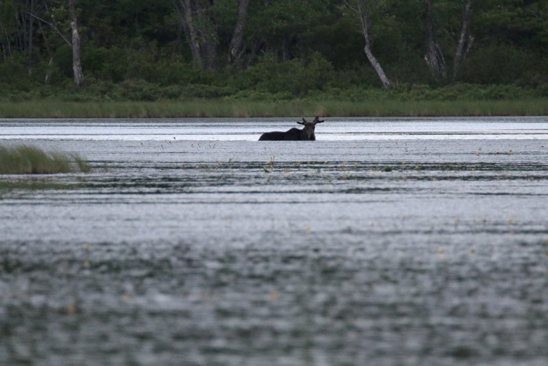 Maine Moose Tour with NEOC