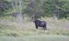 Moose Tour Katahdin