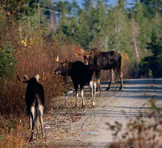 Moose in roadway