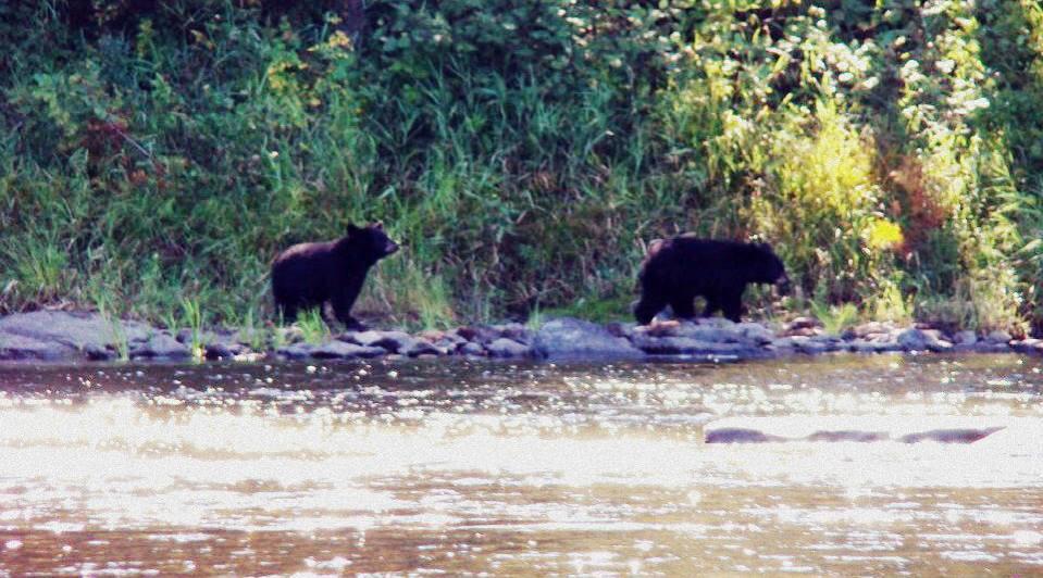 Allagash Bears