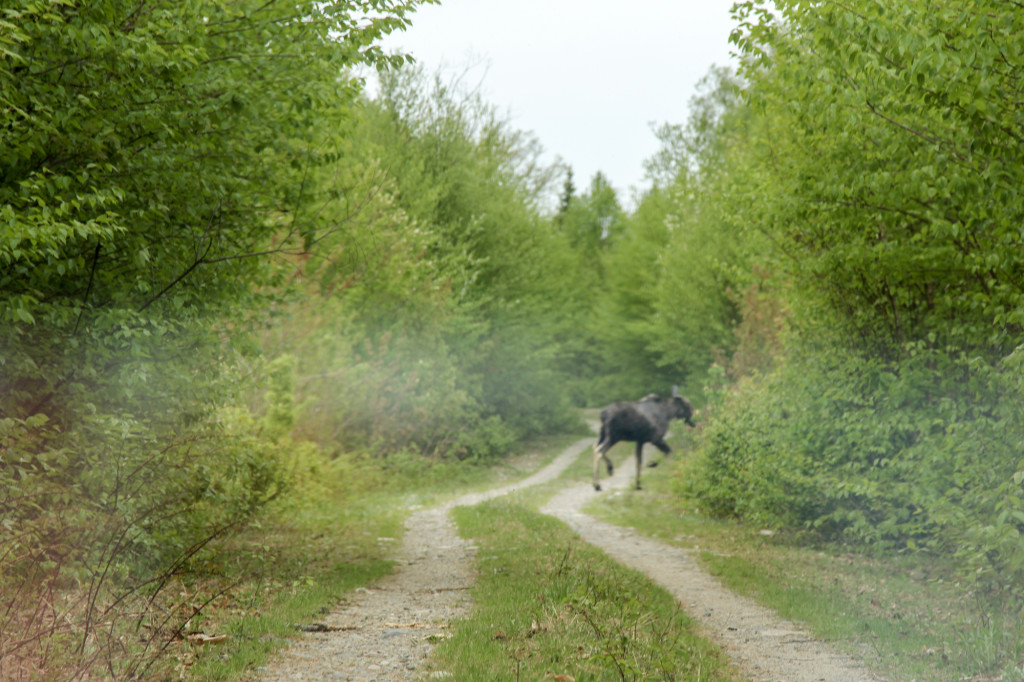 Katahdin loop trail moose on the loose