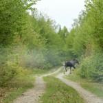Katahdin loop trail moose on the loose