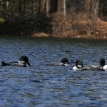 loons on the lake