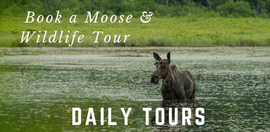 Moose Tours at NEOC Maine