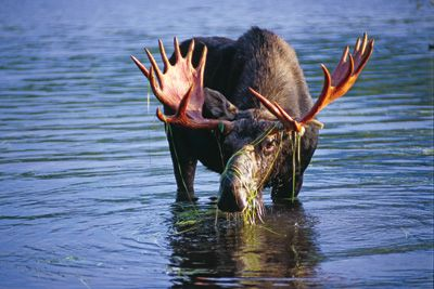 Maine Outdoor Adventure - Moose Tours
