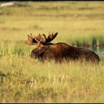 Bull moose wandering in the field