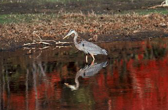 Blue Heron at NEOC