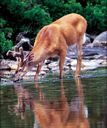 Deer drinking out of lake