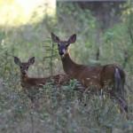 deer_animals_wildlife_218024