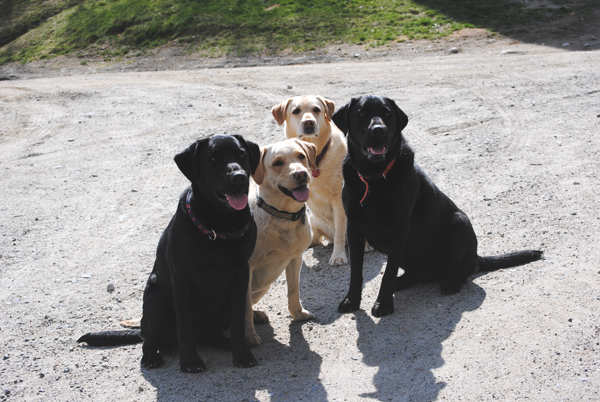 Yellow and black labs