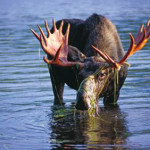 Guided moose tours