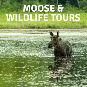 Moose & Wildlife Tours