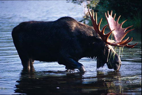 Moose taking a drink from the lake