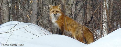 Fox spotting