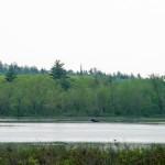 moose on river pond